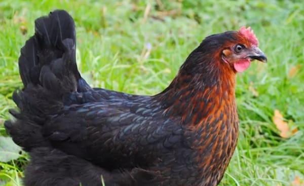 Черно-медный окрас птицы