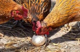 Куры едят яйцо