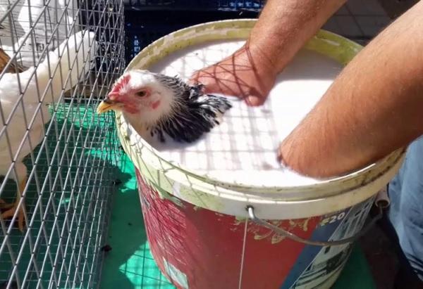 Купание кур в Креолине