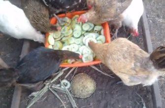 Куры едят огурцы