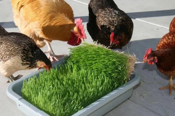 Куры едят зелень