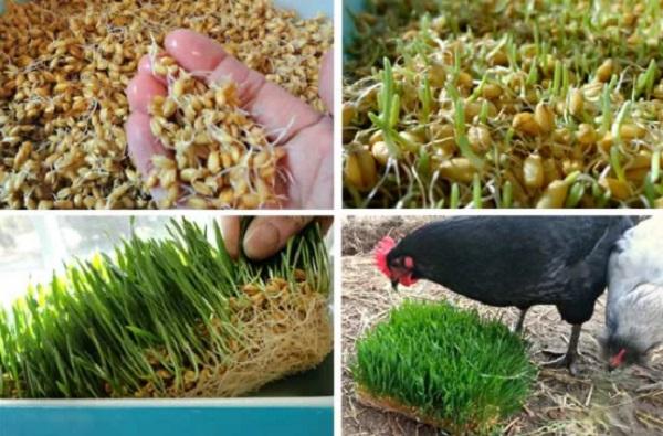 Пшеница курам