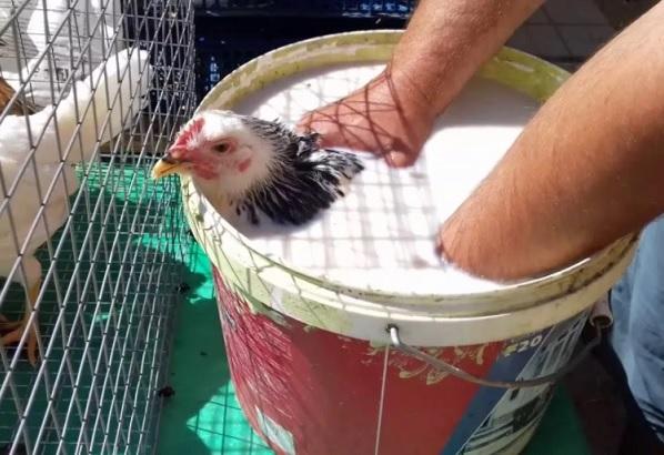 Купание кур