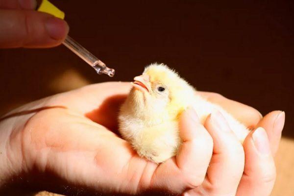 Выпаивание цыпленка
