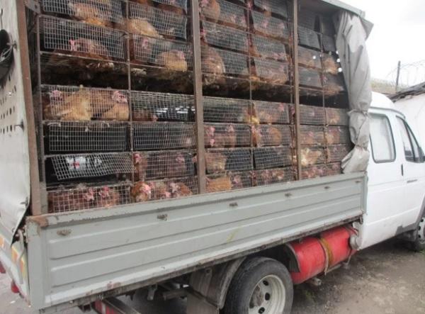 Транспортировка кур
