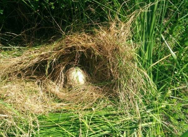 Яйцо в траве