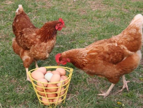 Куры и яйца 2