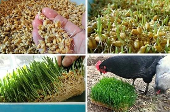 Проращивание зерна курам