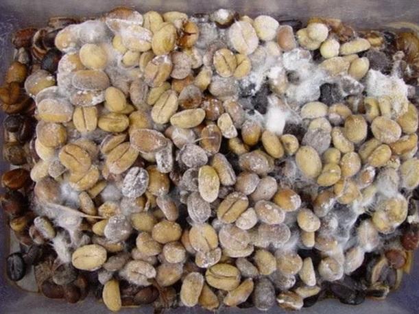 Зерно с плесенью