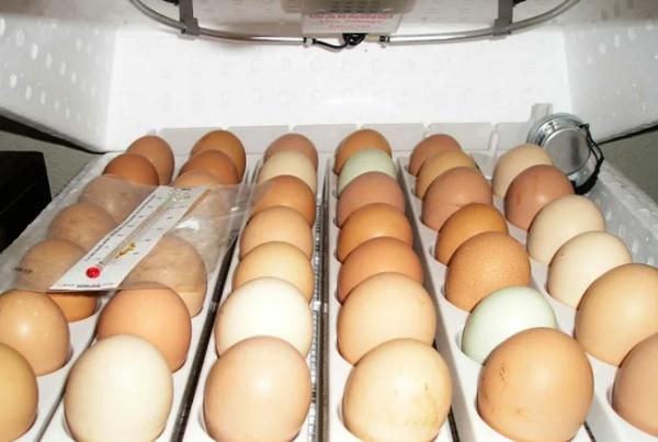 Инкубация яиц
