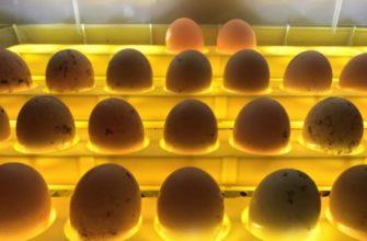 Овоскопирование яиц