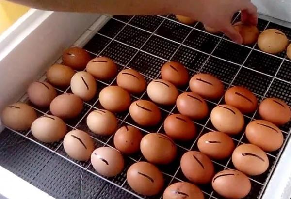 Поворот яиц