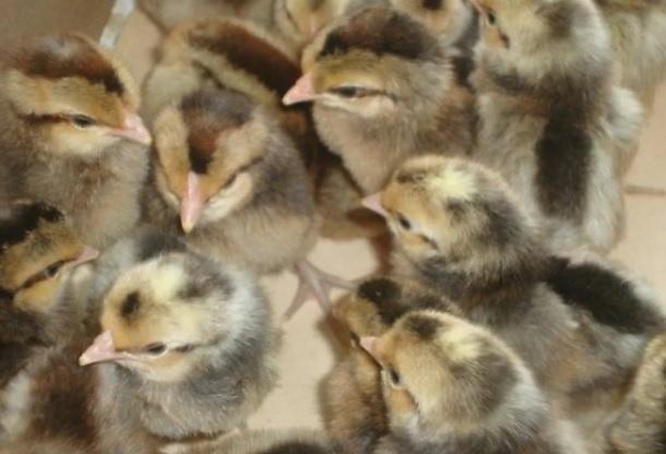Цыплята легбар кремовые