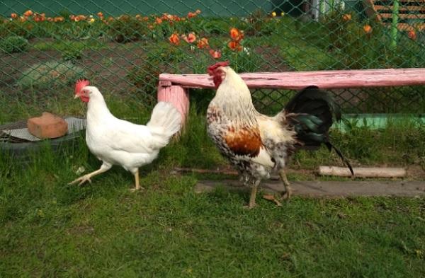 Куриц а и петух